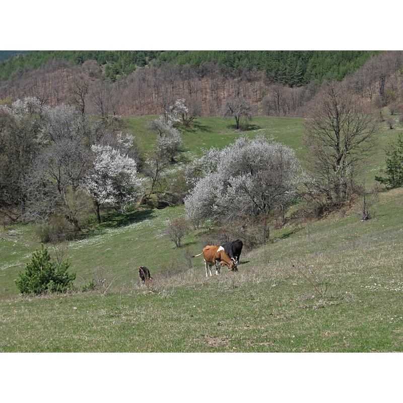 Вие разглеждате снимки от статията: Батулия - Буковец/Огоя - билото - Батулия